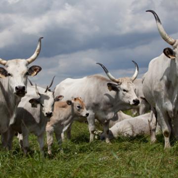Megkezdődik a védett őshonos és veszélyeztetett mezőgazdasági állatfajták genetikai állományának in