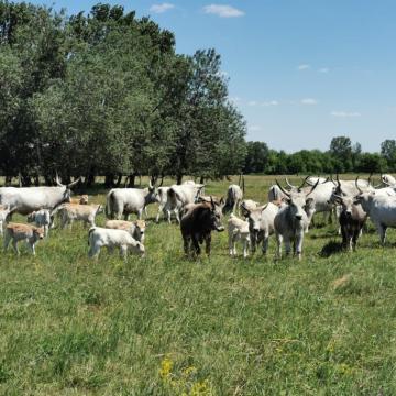 26 tehén és 12 bika eladó Csongrád megyében