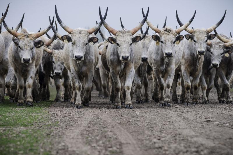"""Meghívó- """"Ez nem marhaság! – Szürke marhahúst népszerűsítő I. Debreceni Szürkemarha Fesztivál"""""""