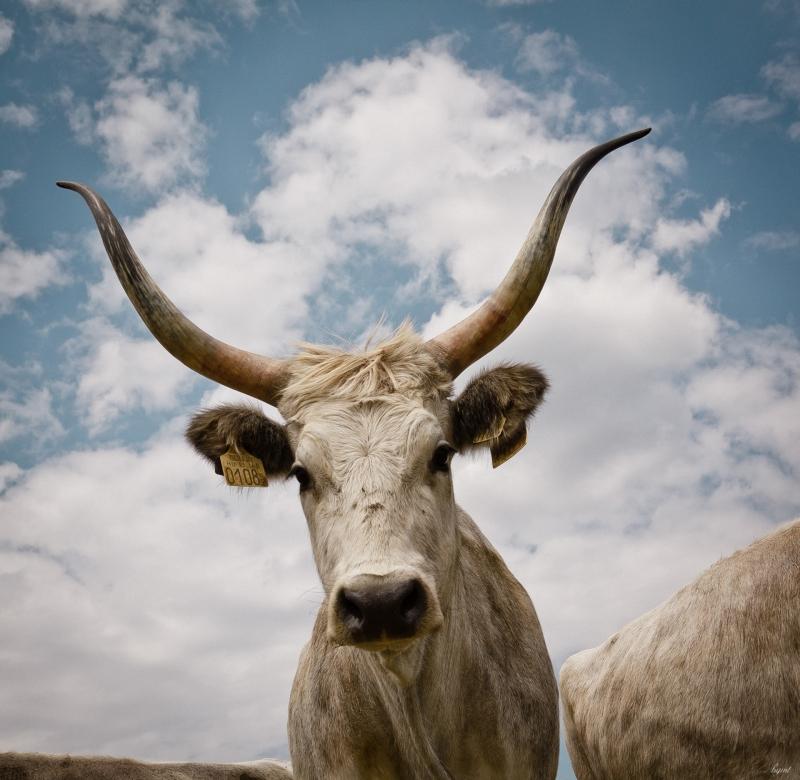 Tájékoztatás a tehén-üsző arány megállapításának változásáról